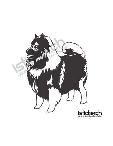 Hunde Zwergspitz